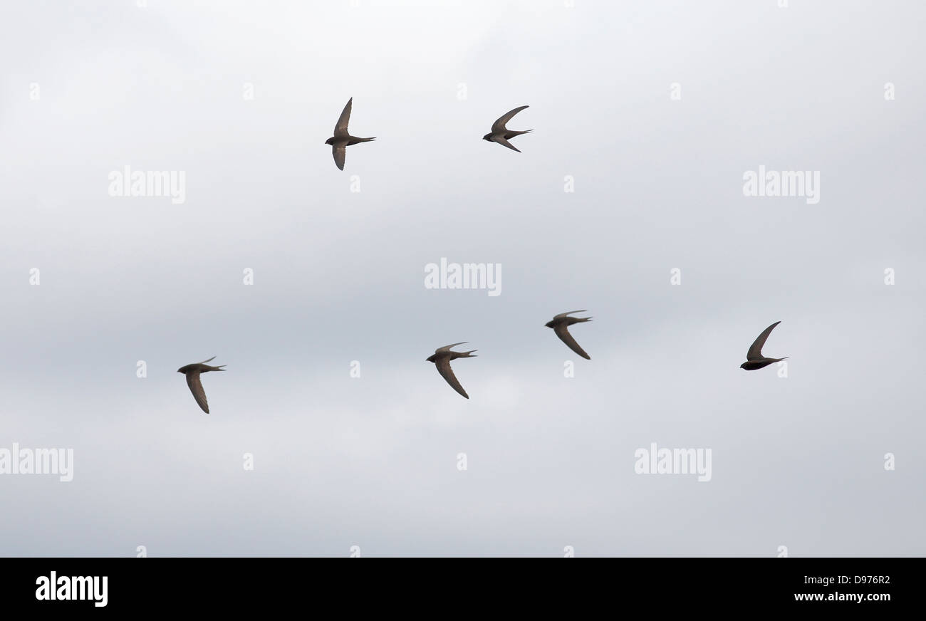 Screaming flock of Common Swifts Apus apus in flight June evening - Stock Image
