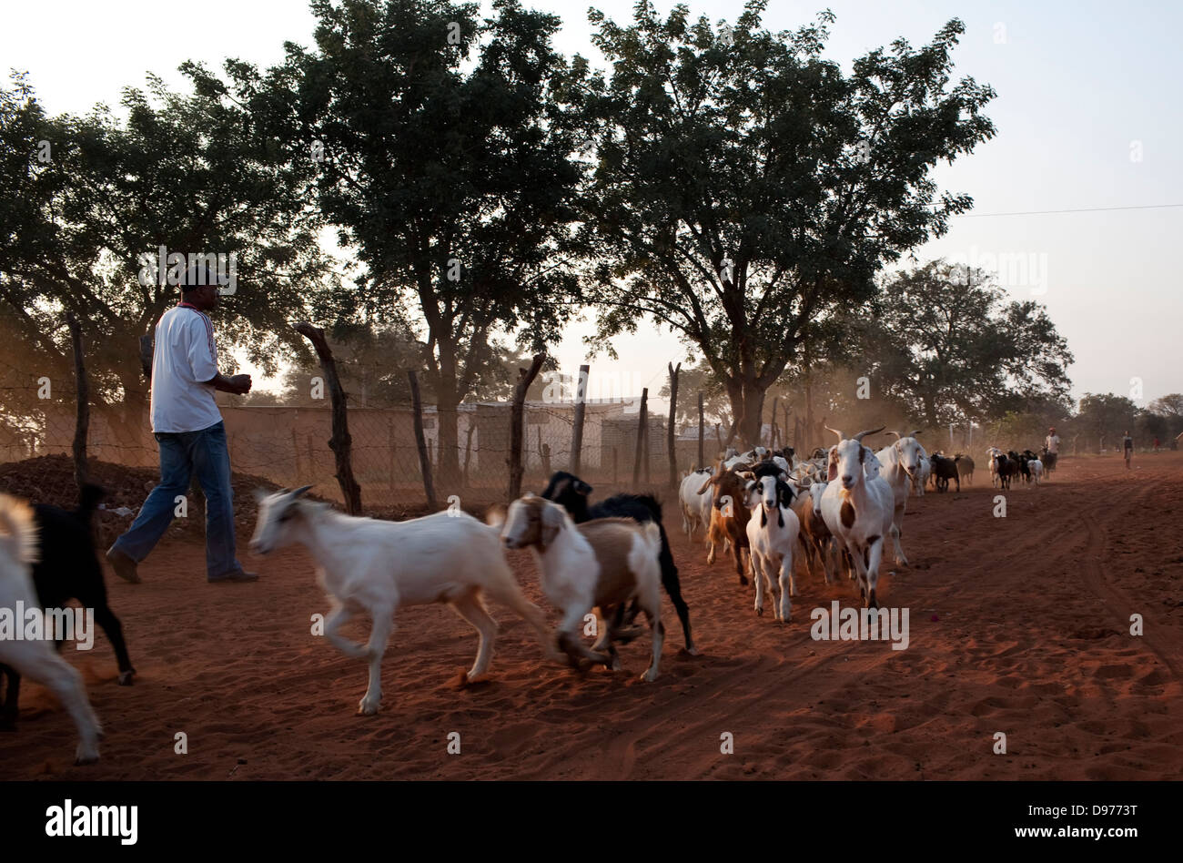 Fairbrigde Seleka 48 taxi driver walks past goats in village in burgerecht He is one taxi drivers assigned to transport - Stock Image