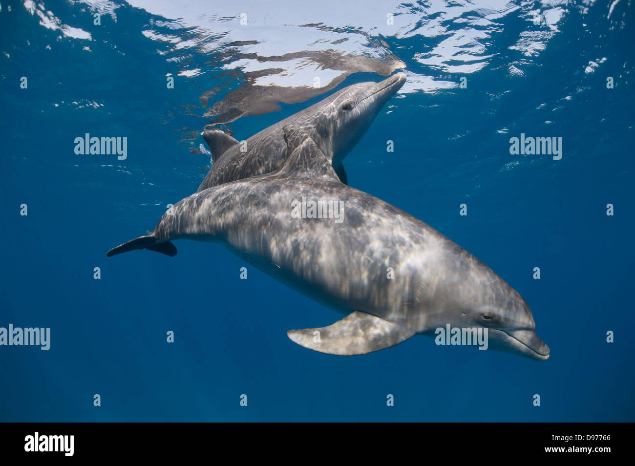 Two Indo-pacific bottlenose dolphins (Tursiops aduncus) swim close to the surface. - Stock Image
