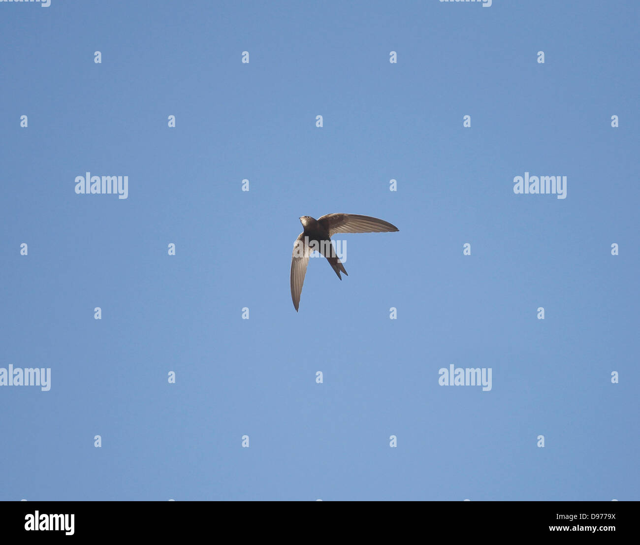 Common Swift Apus apus in flight June evening - Stock Image