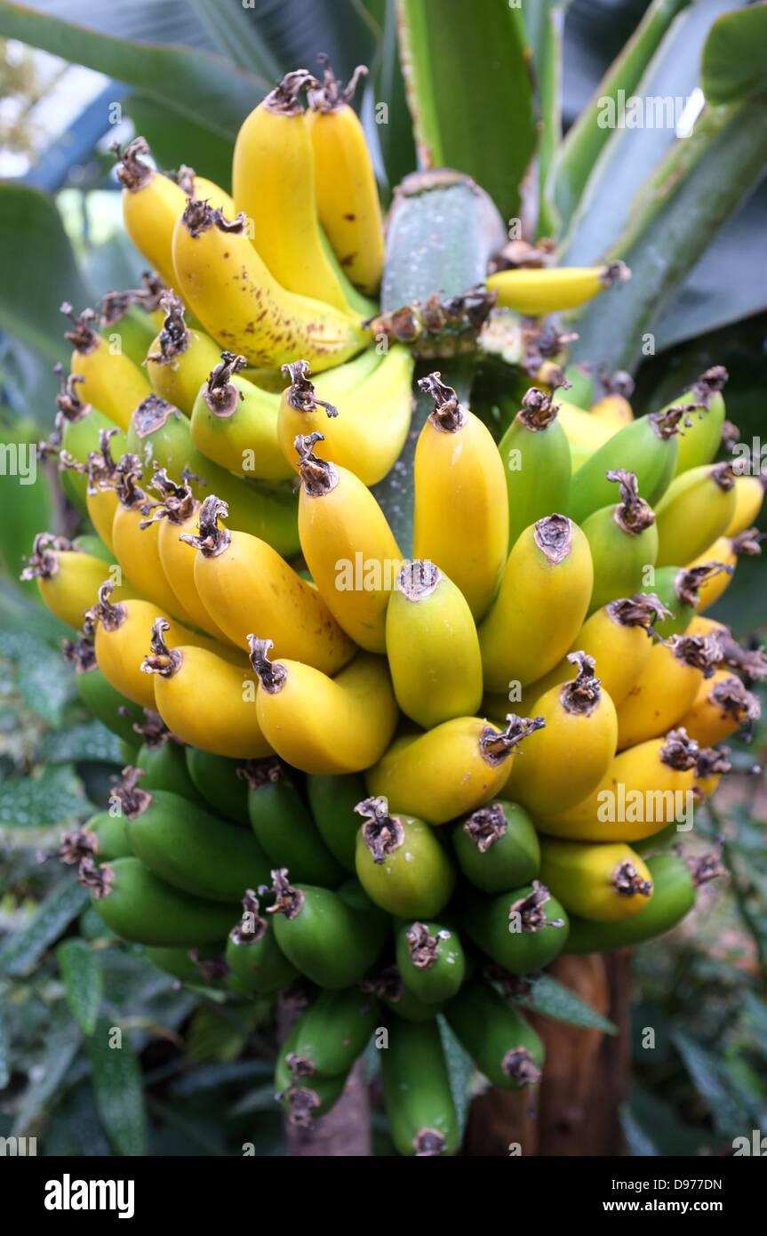 bunch of maturing bananas surrey uk 2013 - Stock Image