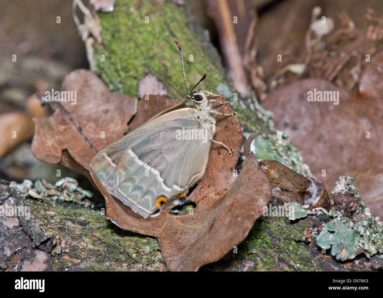 Purple Hairstreak Butterfly (Favonius (formerly Neozephyrus) quercus) female with pupal case. Sequence 6 of 6 - Stock Image