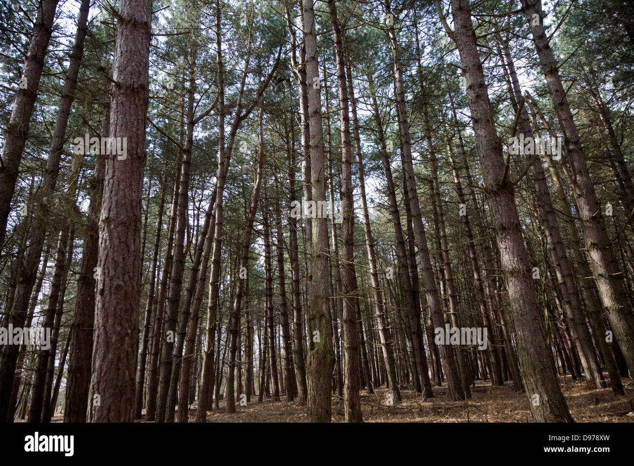 Conifer trees in Rendlesham Forest, Suffolk, England - Stock Image