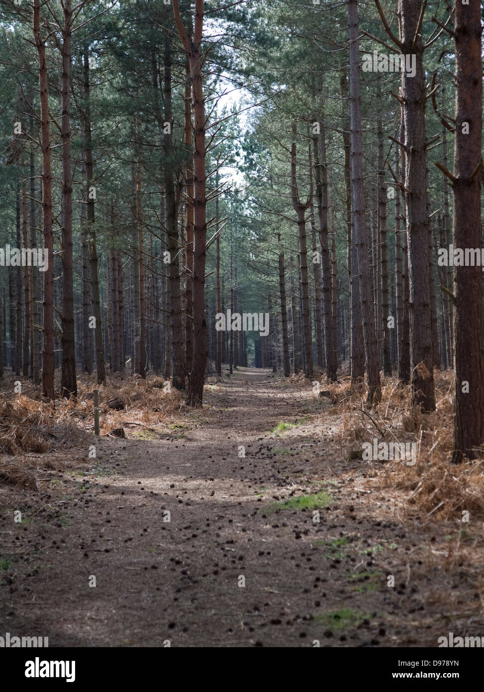 Track through conifer trees in Rendlesham Forest, Suffolk, England - Stock Image
