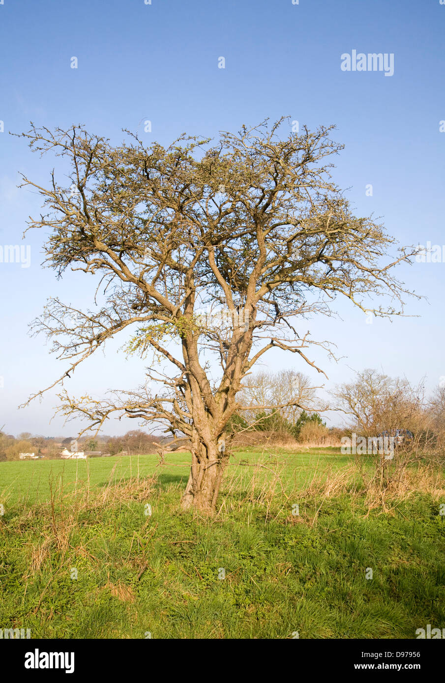 Leafless tree stands alone on field boundary, Sutton, Suffolk, England - Stock Image