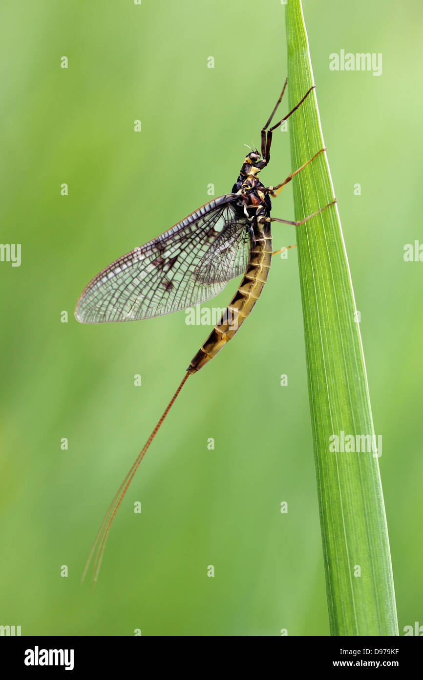 Dark Mayfly Ephemera vulgata spinner - Stock Image