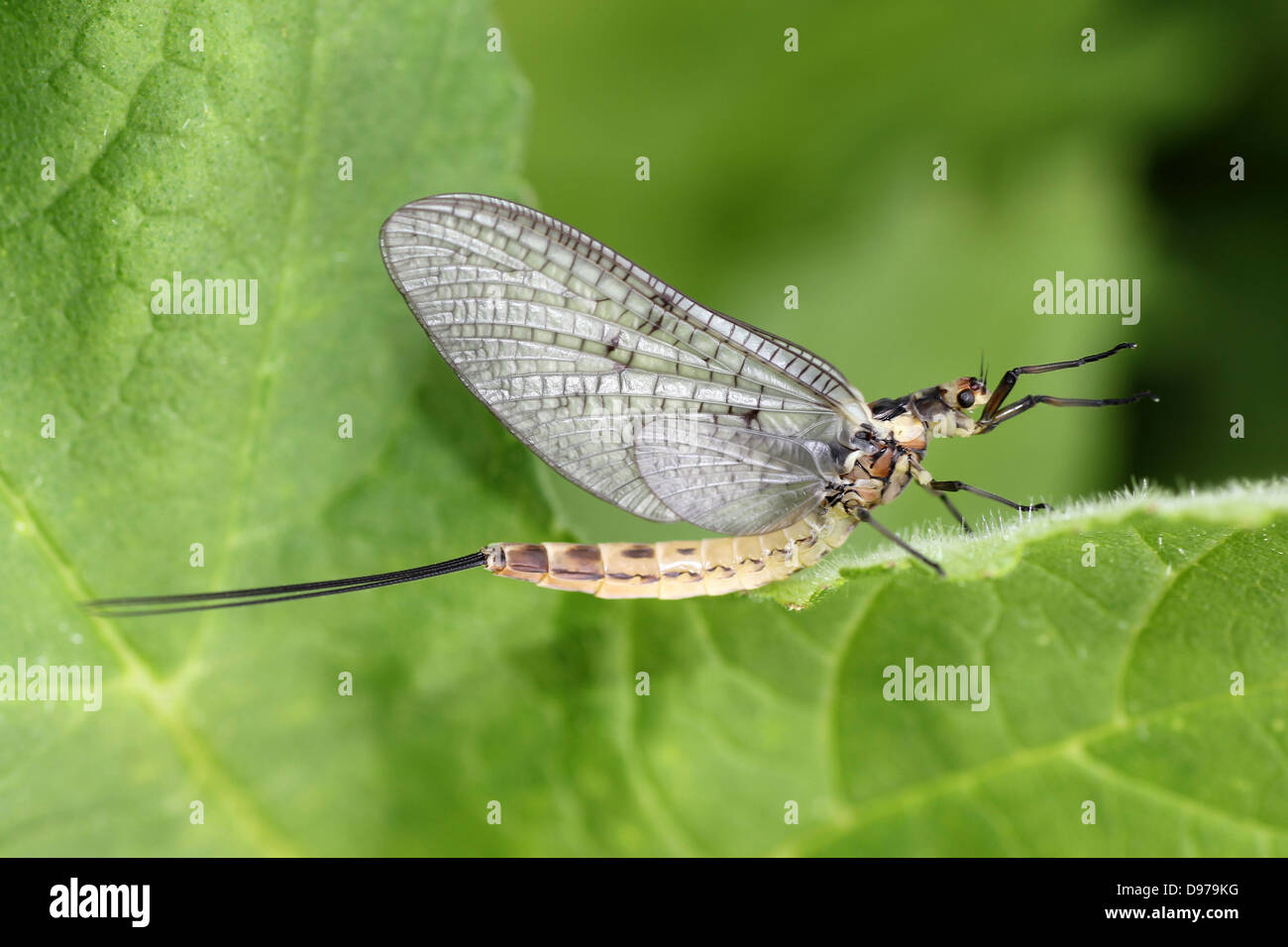 Green Drake Ephemera danica - Stock Image