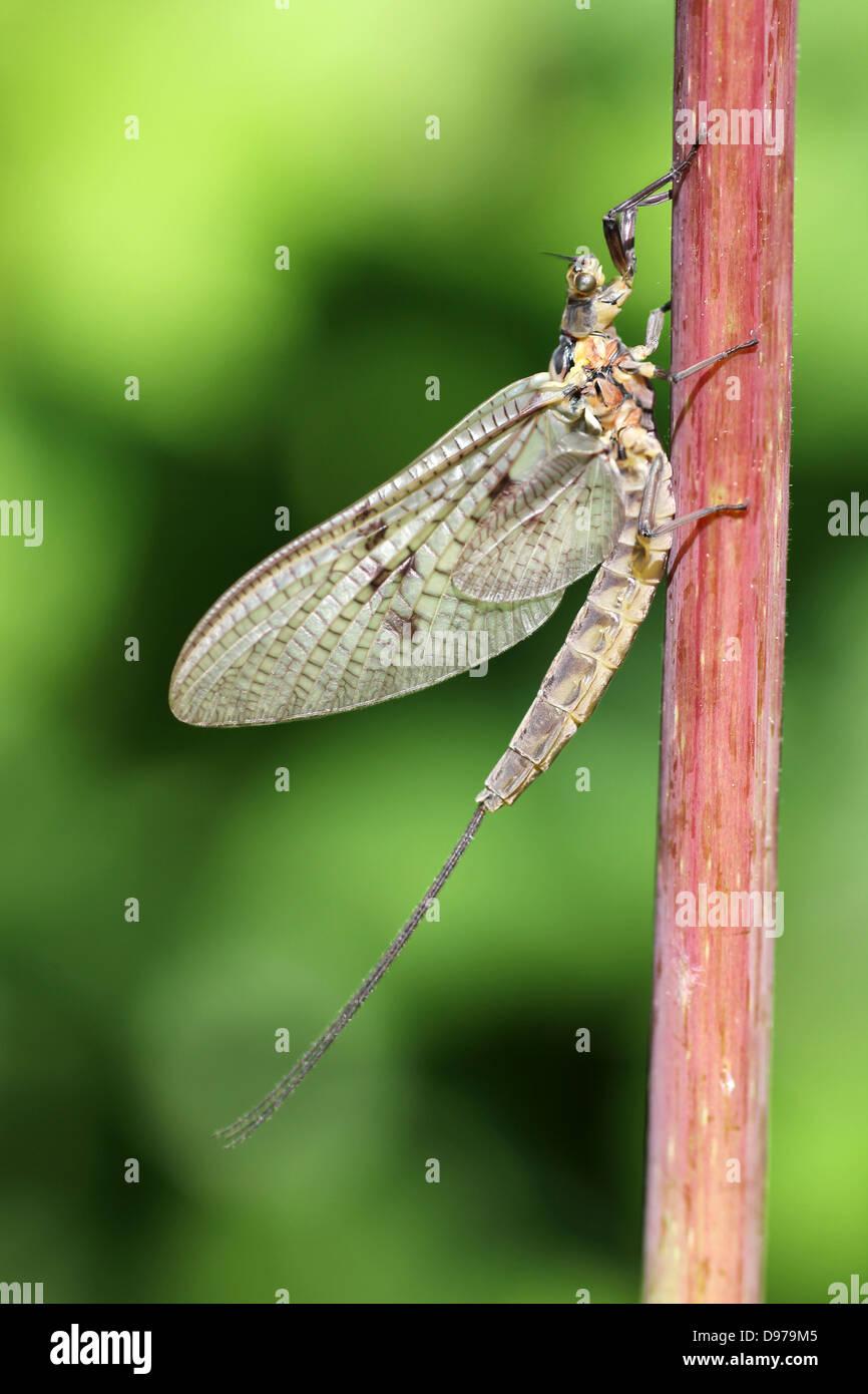 Dark Mayfly Ephemera vulgata dun - Stock Image