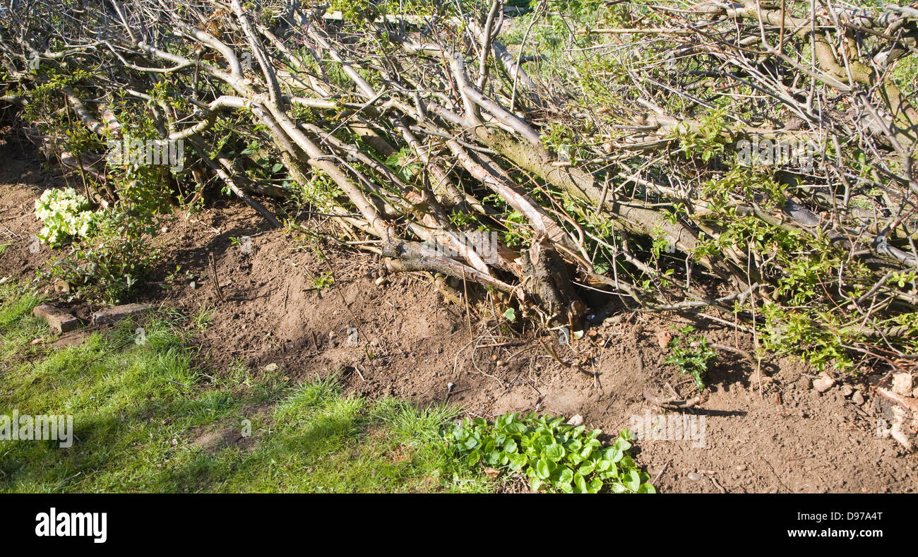 Hedge laying to renew old hedgerow, Suffolk, England - Stock Image