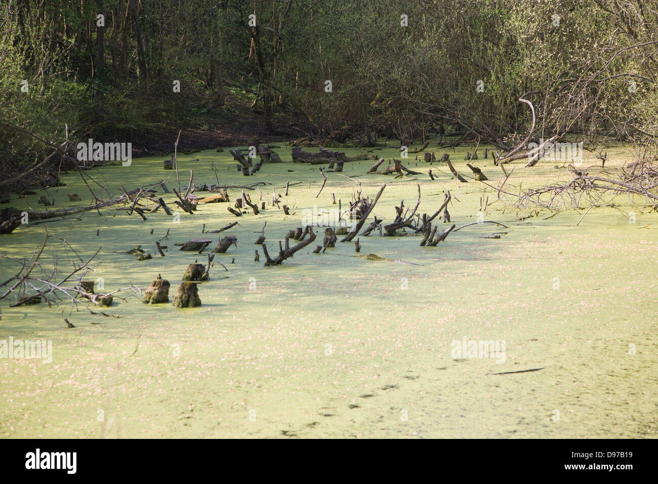 Green surface algae pond weed from eutrophication, Chapell, Essex, England - Stock Image
