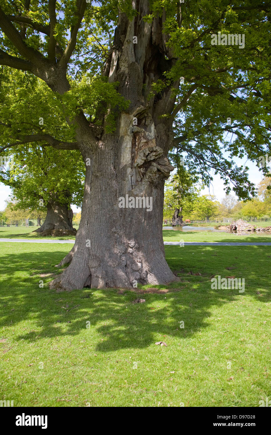 Ancient oak trees in parkland grounds of Helmingham Hall, Suffolk, England - Stock Image