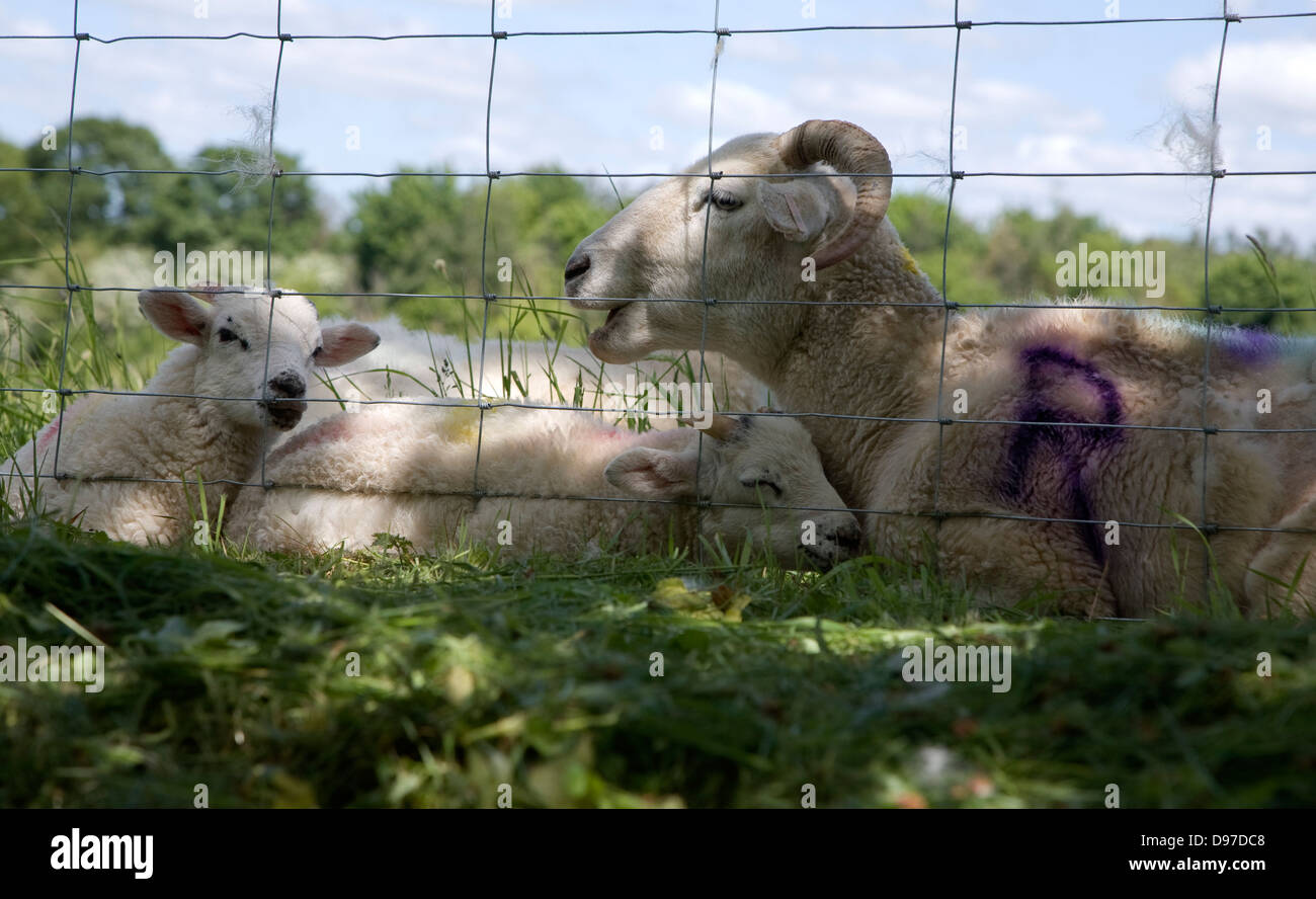 Mother sheep with her baby lambs lying by a wire fence in a field, Suffolk, England - Stock Image