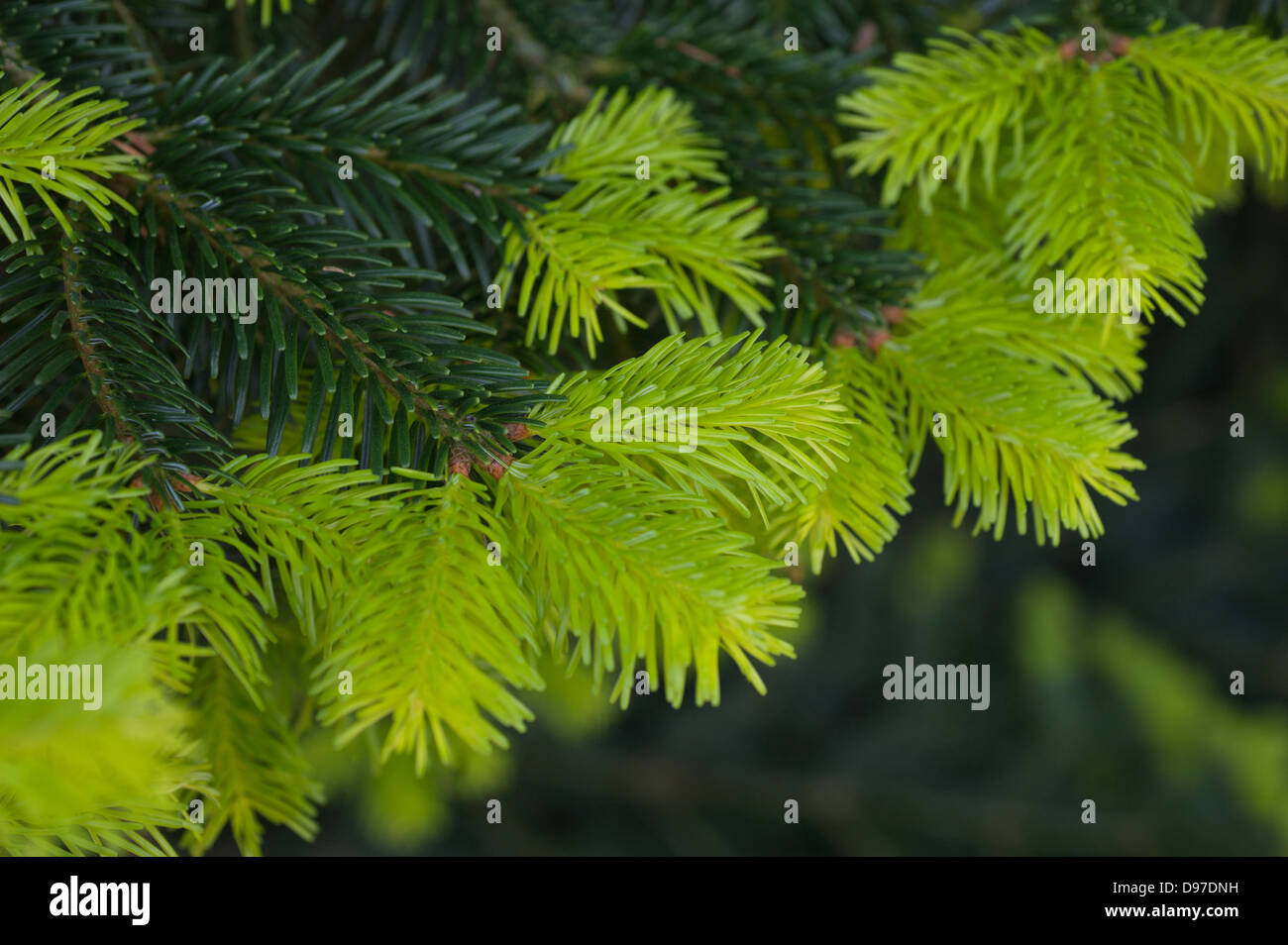 Growth flush on a conifer tree - Stock Image