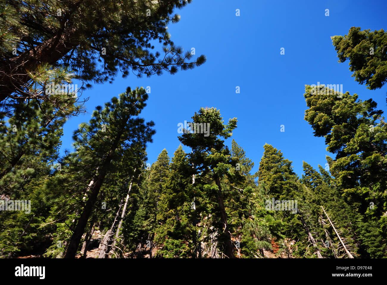 Conifers near  Lake Tahoe California - Stock Image