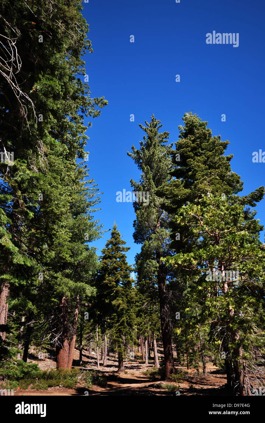 Conifers near  Lake Tahoe California Stock Photo