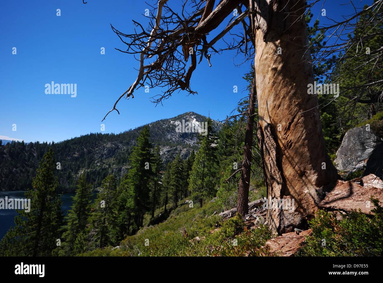 Conifers near  Lake Tahoe California Stock Photo