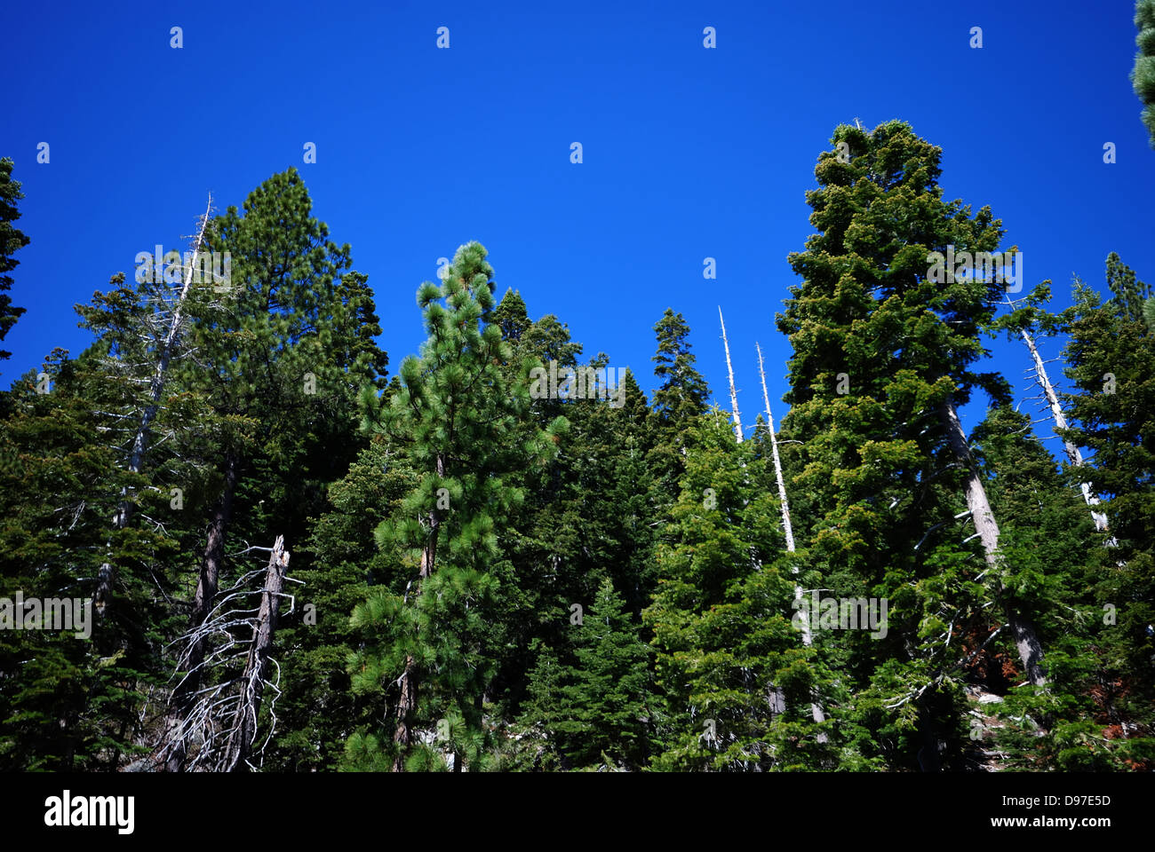 Conifers near  Lake Tahoe California - Stock Image