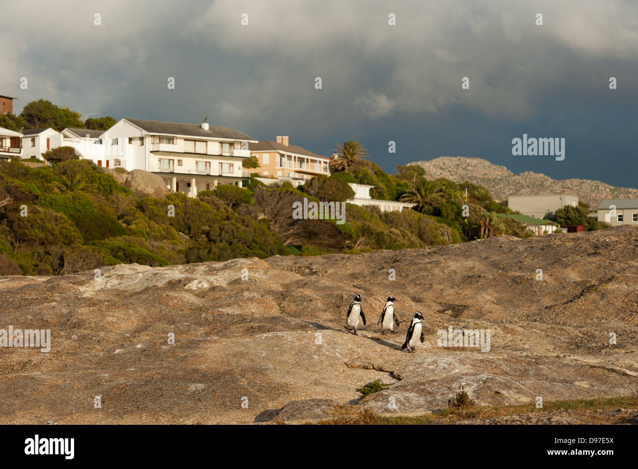 African penguins, Spheniscus demersus, Boulders Beach, Cape Peninsula, South Africa - Stock Image