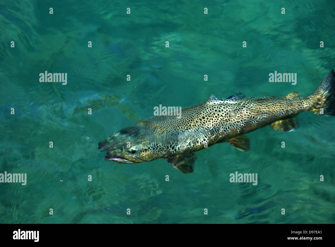 Brown trout in the Truckee River, California - Stock Image
