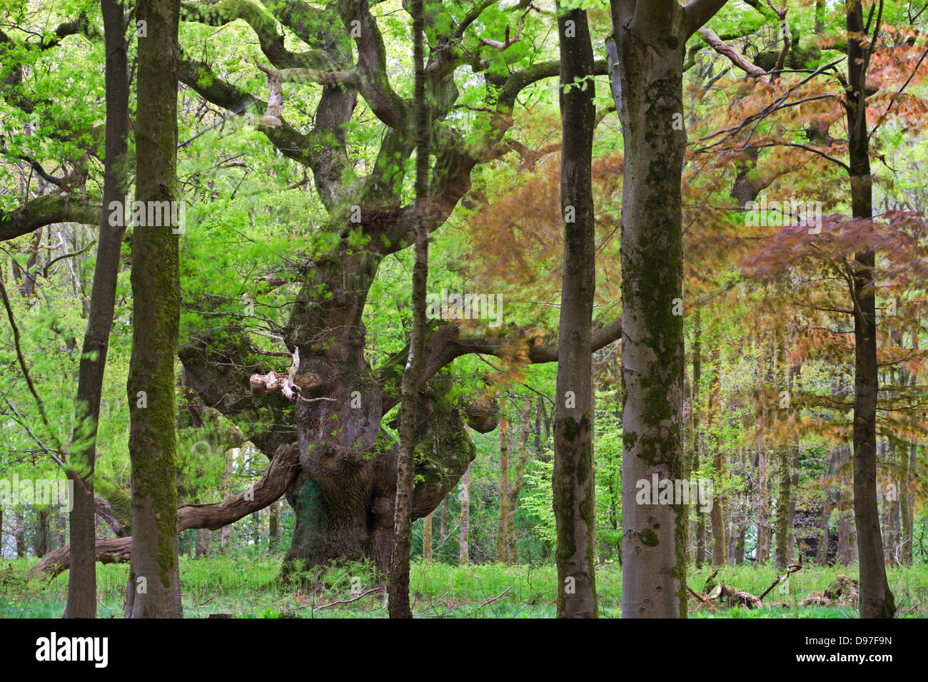 An ancient oak tree deep in the woodland at Savernake Forest, Marlborough, Wiltshire, England. Spring (May). - Stock Image