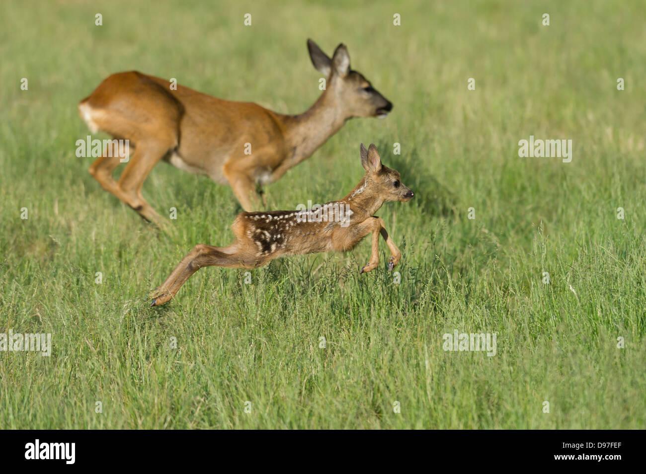 Kitz ,Reh, roe deer, fawn, Capreolus capreolus - Stock Image
