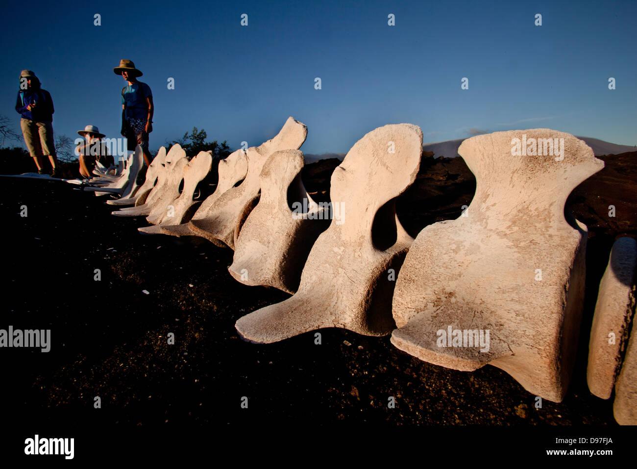 Bones of whale found on Punta Espinozo, Fernandina Island, Galapagos, Ecuador - Stock Image