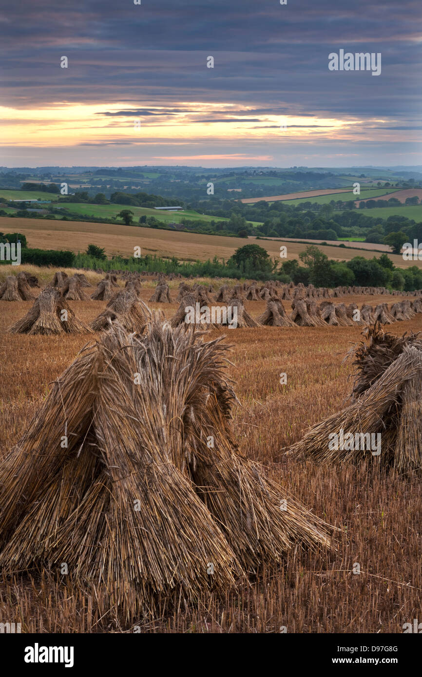 Wheat for thatching harvested in traditional stooks, Devon, England. Summer 2011 - Stock Image