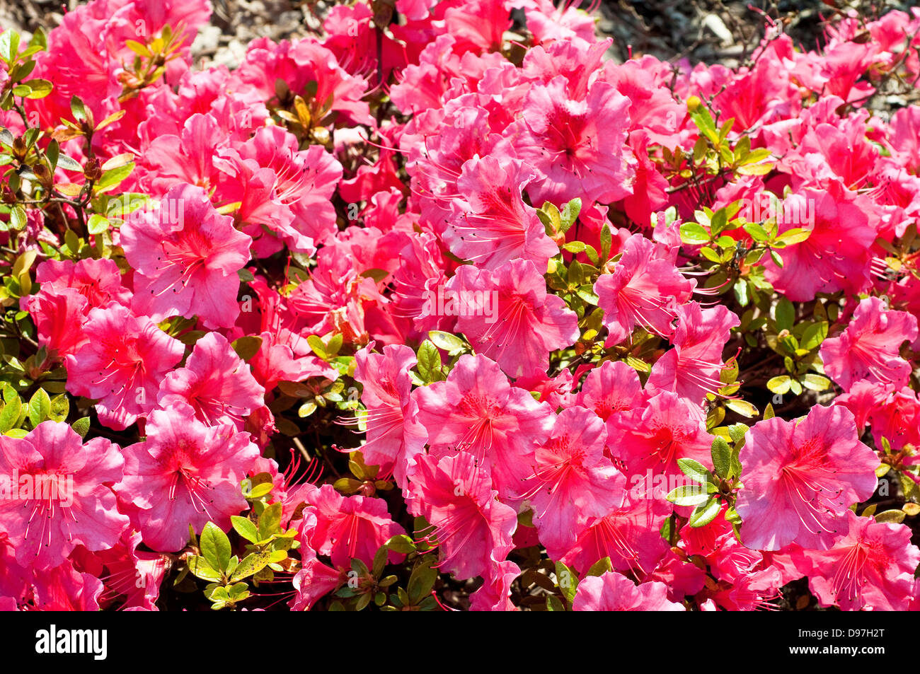 Rhododendron 'Vuyk's Rosyred' - Stock Image