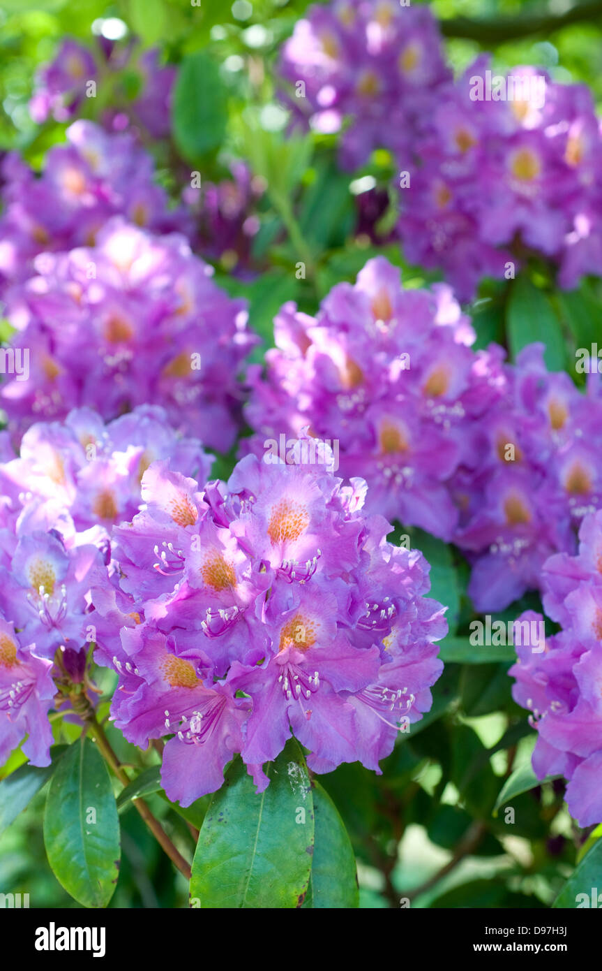 Rhododendron 'Purple Heart' - Stock Image
