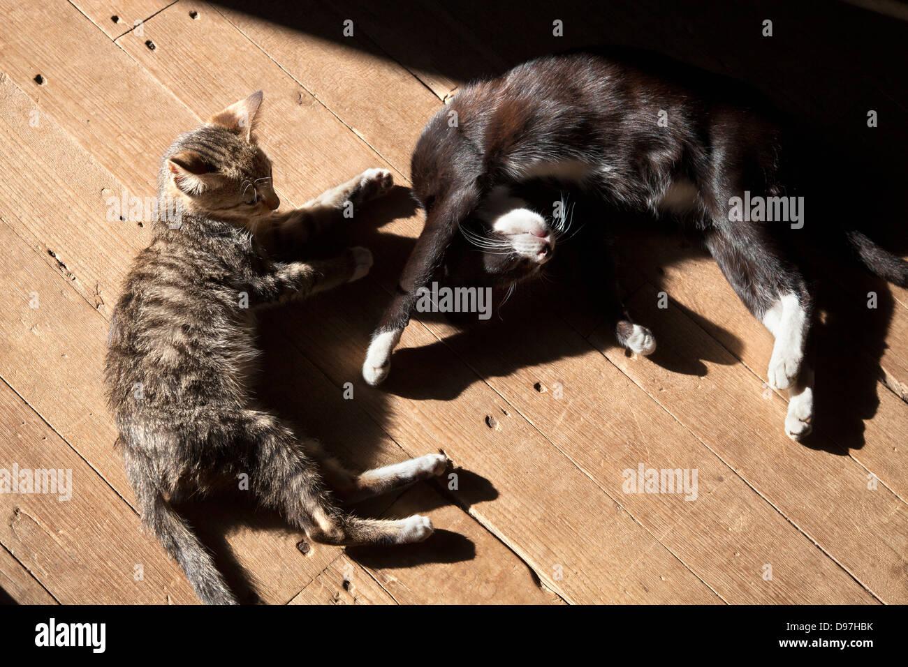 Dozing cats at the Nga Phe Kyaung jumping cat monastery, Myanmar 2 - Stock Image