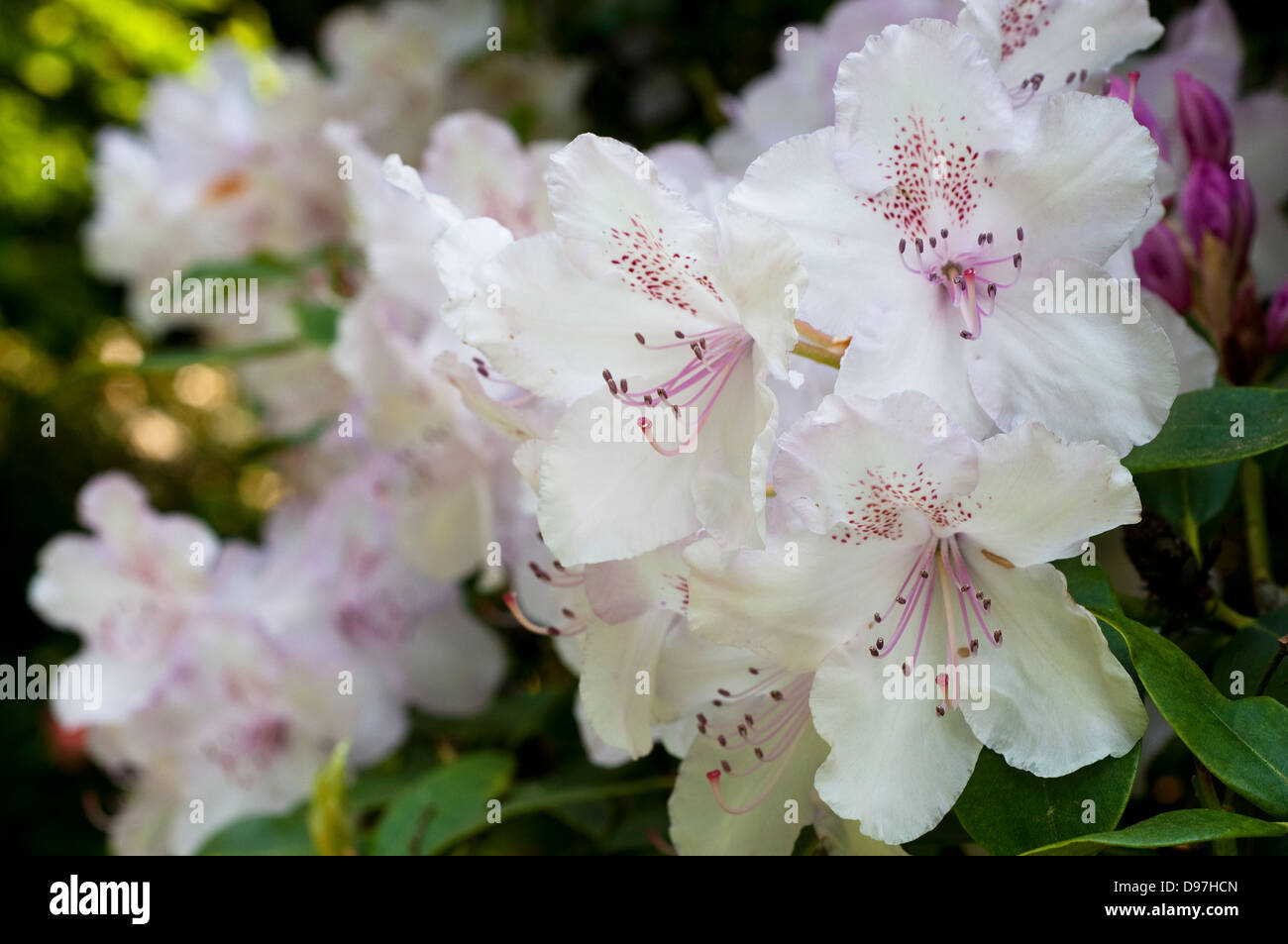Rhododendron 'Mrs Charles E. Pearson' Stock Photo