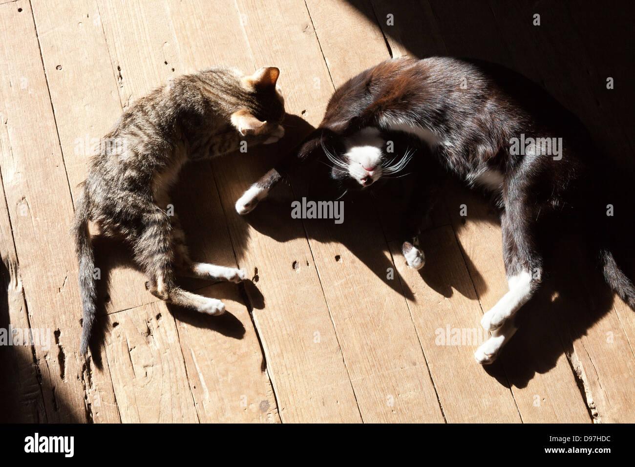 Dozing cats at the Nga Phe Kyaung jumping cat monastery, Myanmar - Stock Image