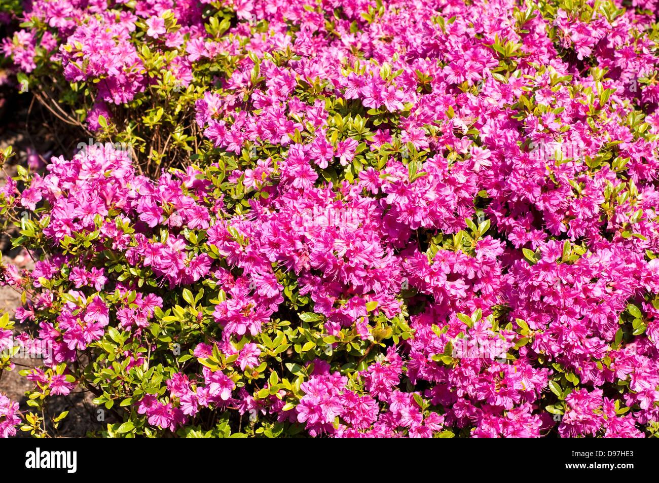 Rhododendron 'Hanako' - Stock Image