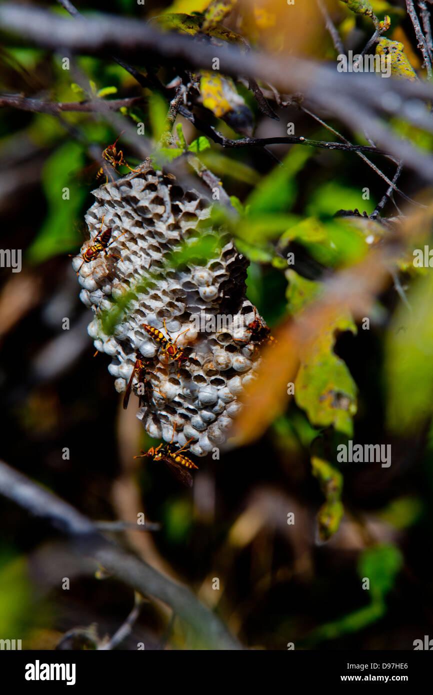 Wasps nest, Puerto Egas, James Island, the Galapagos. - Stock Image