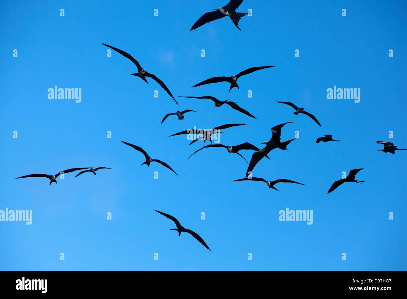 Frigate birds on Isla Lobos on San Cristobel Island, Galapagos. - Stock Image