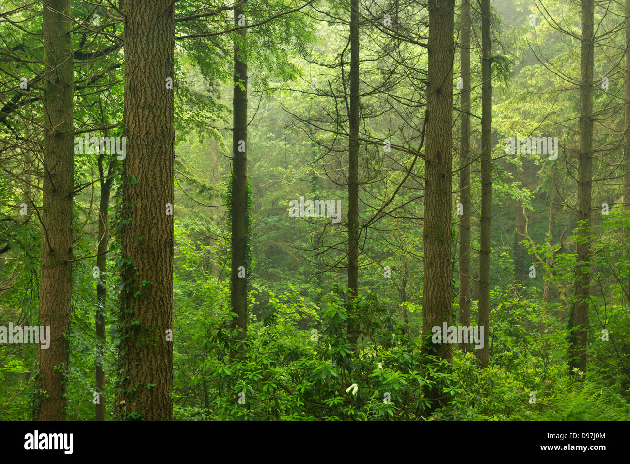 Vibrant pine woodland in summertime, Morchard Wood, Devon, England. Summer (June) 2012. - Stock Image