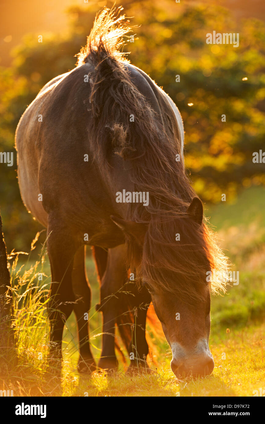 Exmoor pony grazing in the evening summer sunshine at Valley of Rocks, Exmoor, Devon. Summer (July) 2012. - Stock Image