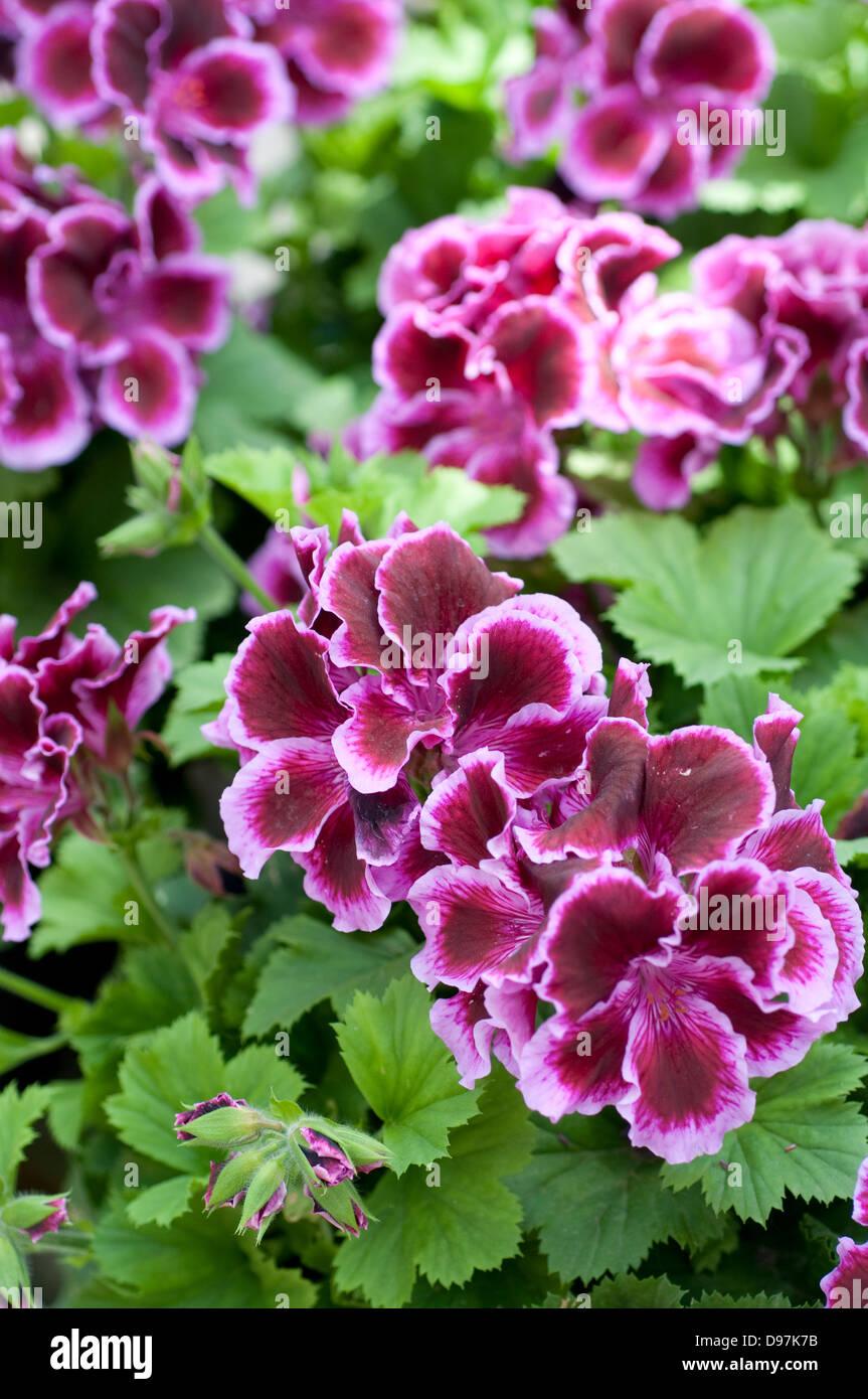 Pelargonium 'Funchal' - Stock Image