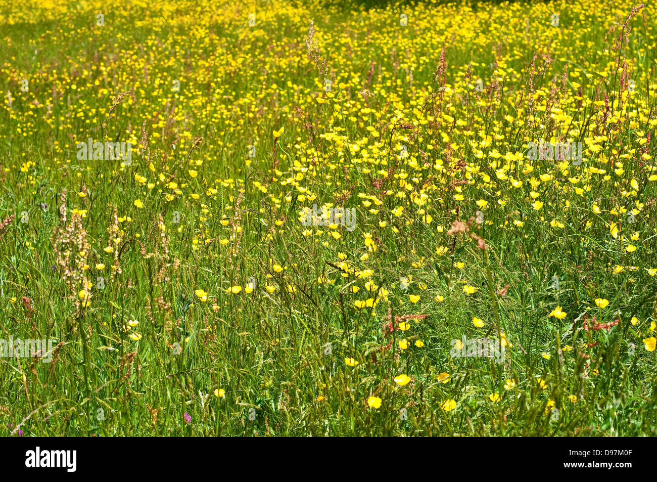 Meadow of yellow buttercups flowers - Stock Image