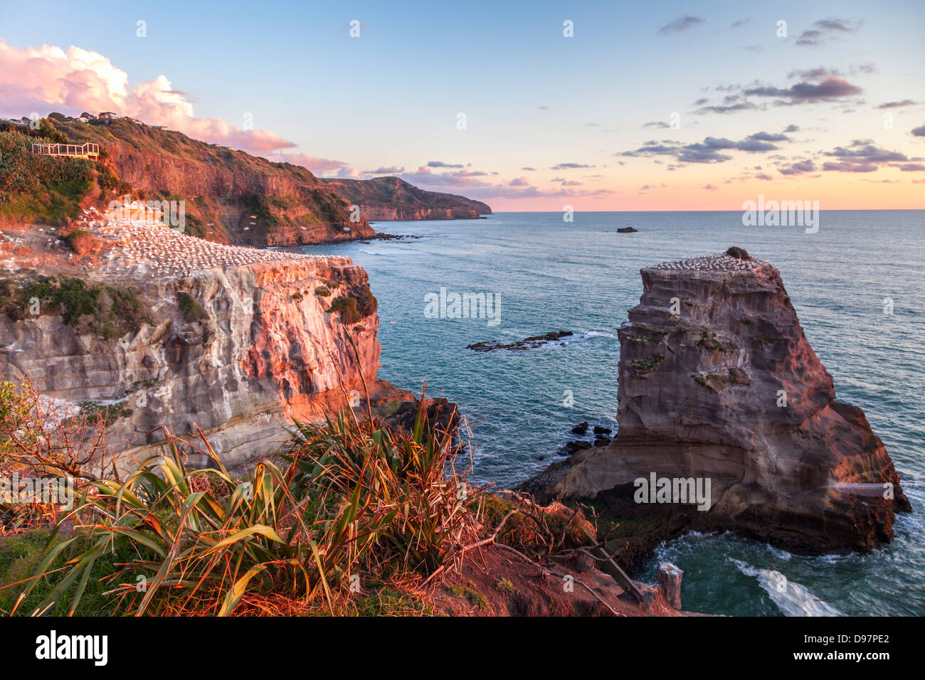 Muriwai Gannet Colony, Auckland, New Zealand. Please note motion blur on gannets in flight. - Stock Image