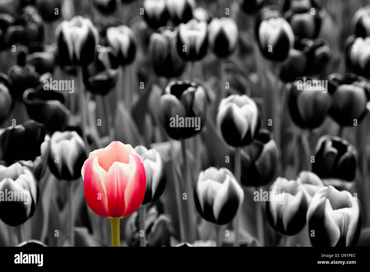 red tulip on monochrome - Stock Image