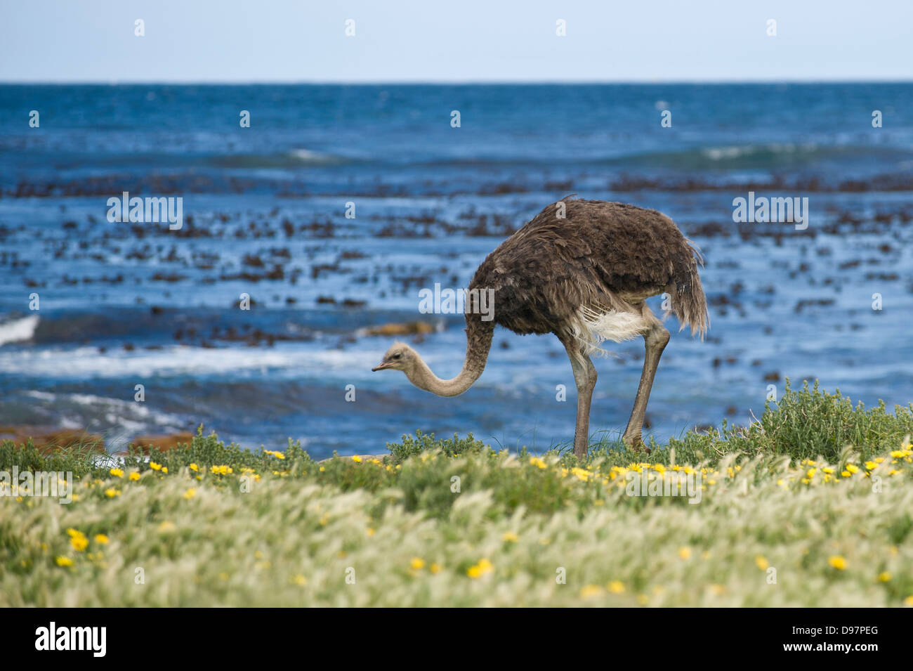 Female ostrich (Struthio camelus), Cape of Good Hope, Western Cape, South Africa - Stock Image