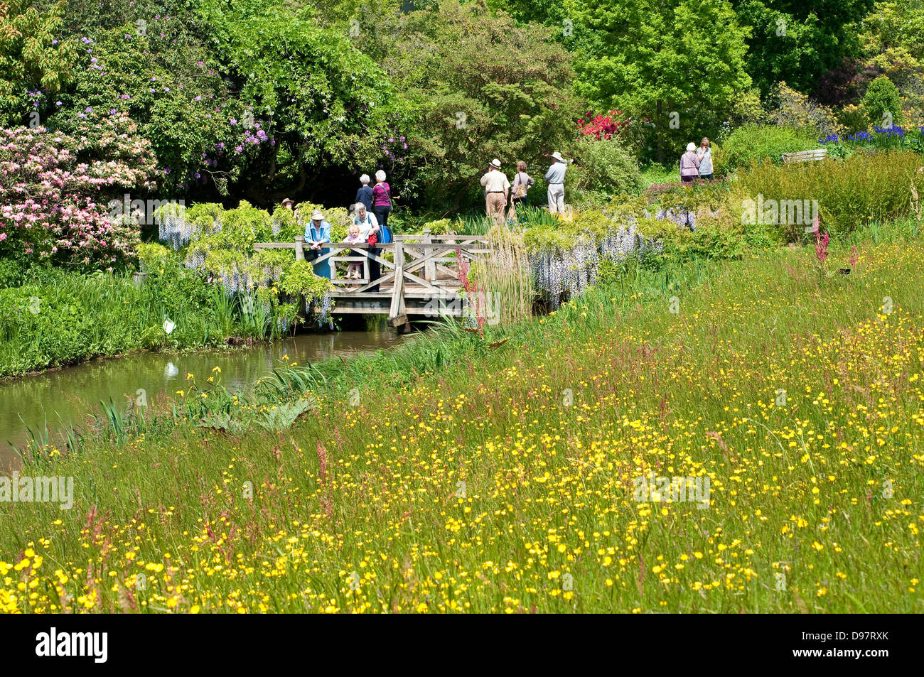 Meadow of yellow buttercups flowers at Wisley Garden, Surrey, UK - Stock Image
