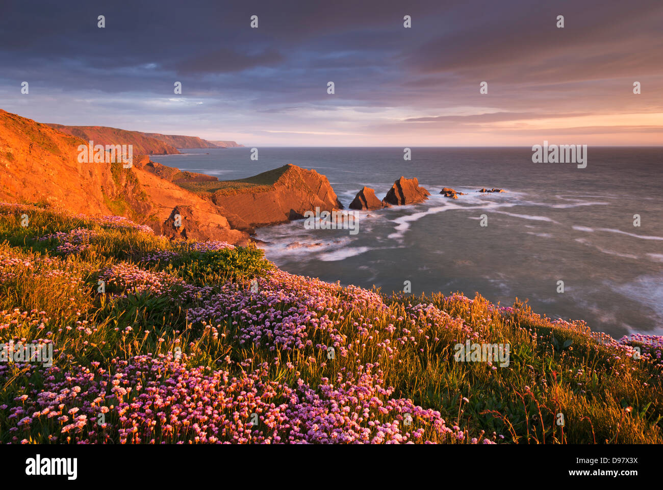 Flowering thrift on the clifftops above Hartland Quay, North Devon, England. Spring (May) 2013. - Stock Image