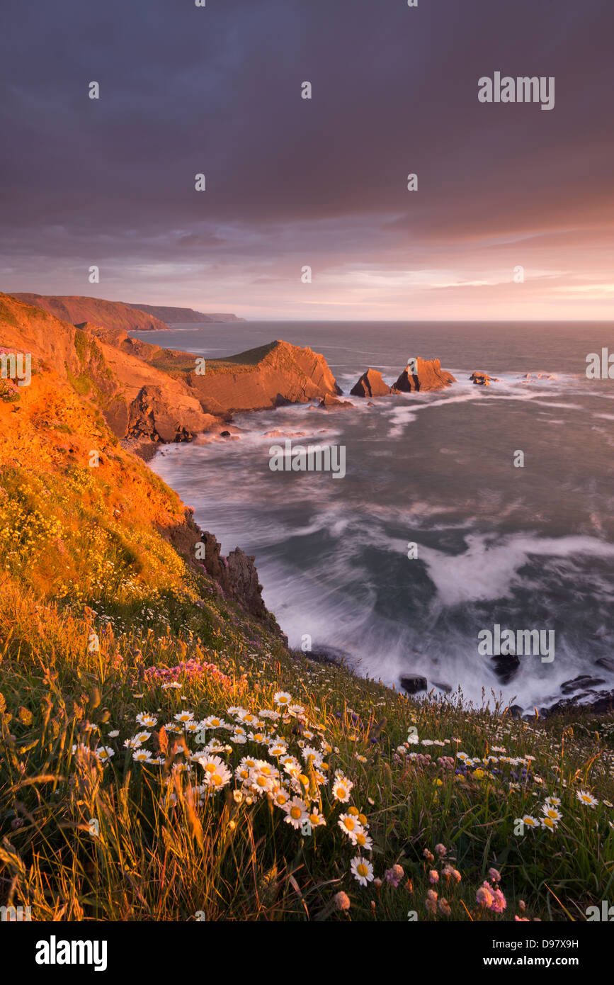 Wildflowers growing on the cliff tops above Hartland Quay, looking south to Screda Point, Devon, England. Spring - Stock Image