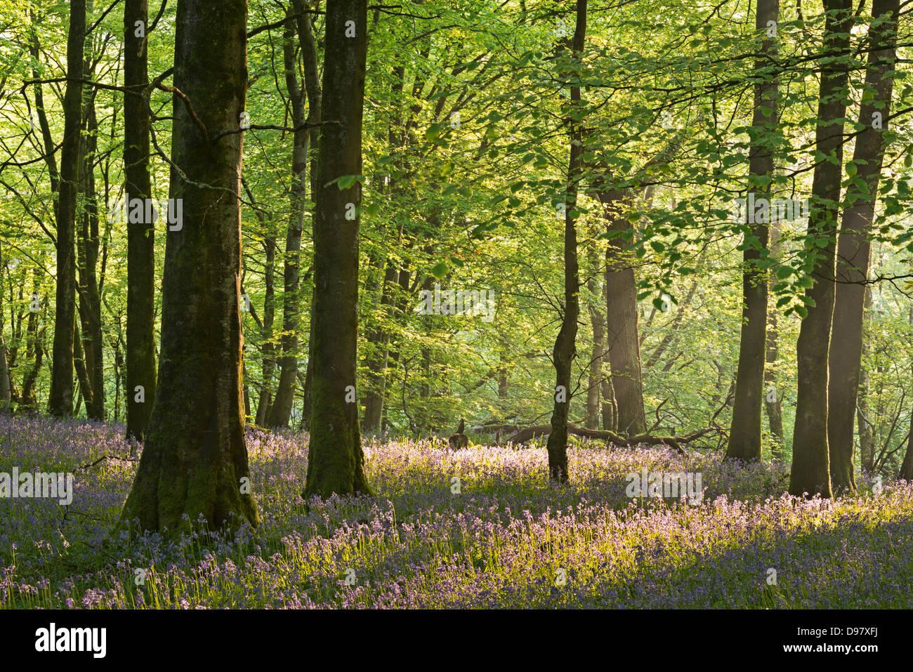 Bluebells flowering in a woodland, Exmoor National Park, Devon, England. - Stock Image