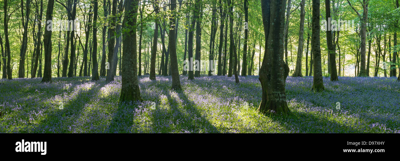 Sunshine in a Bluebell woodland, Exmoor National Park, Devon, England. Spring (May) 2013. - Stock Image