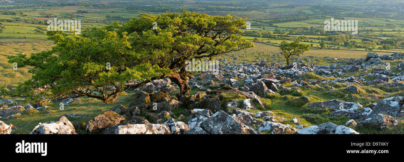 Hawthorn Tree on moorland, Dartmoor National Park, Devon, England. Spring (June) 2013. - Stock Image