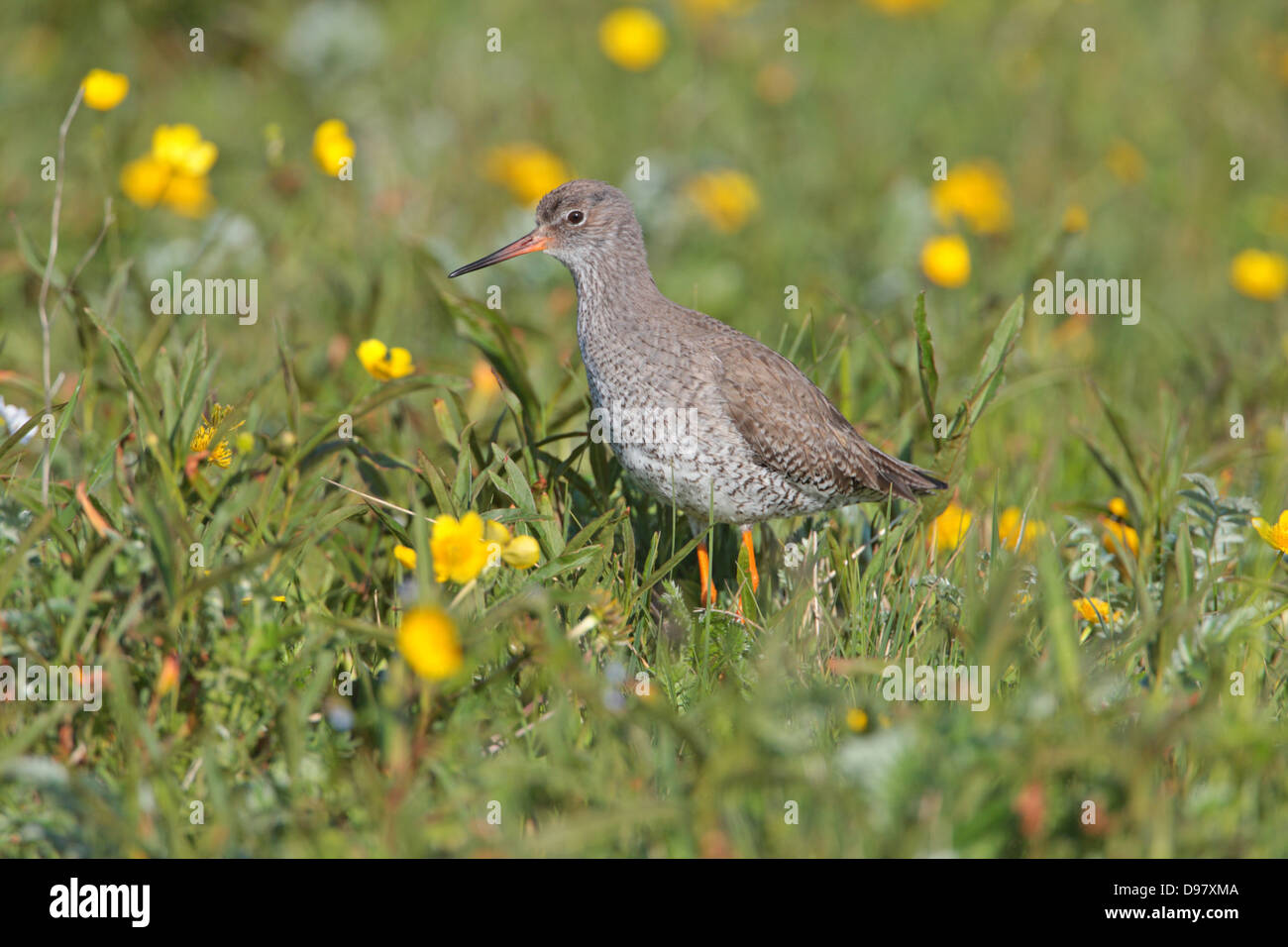 Adult Common Redshank Tringa totanus in breeding plumage in a field of flowers on North Uist Outer Hebrides, Scotland - Stock Image