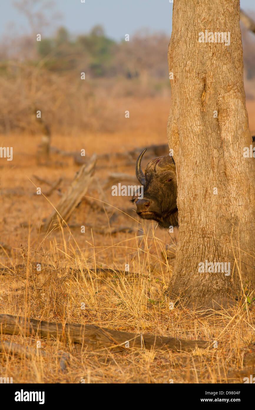 Buffalo peers around a tree, Kaingo Camp Stock Photo